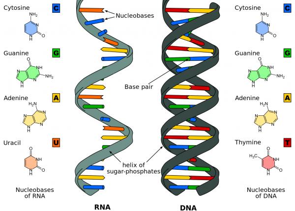 18.8  עולם ה- RNA
